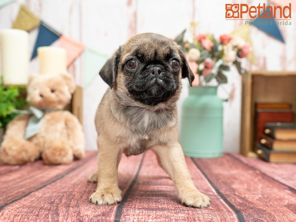 Puppies For Sale Pug Puppies For Sale Pug Puppies Puppies