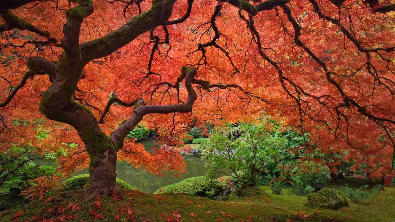 Japanese Maple Tree, Portland Japanese Garden