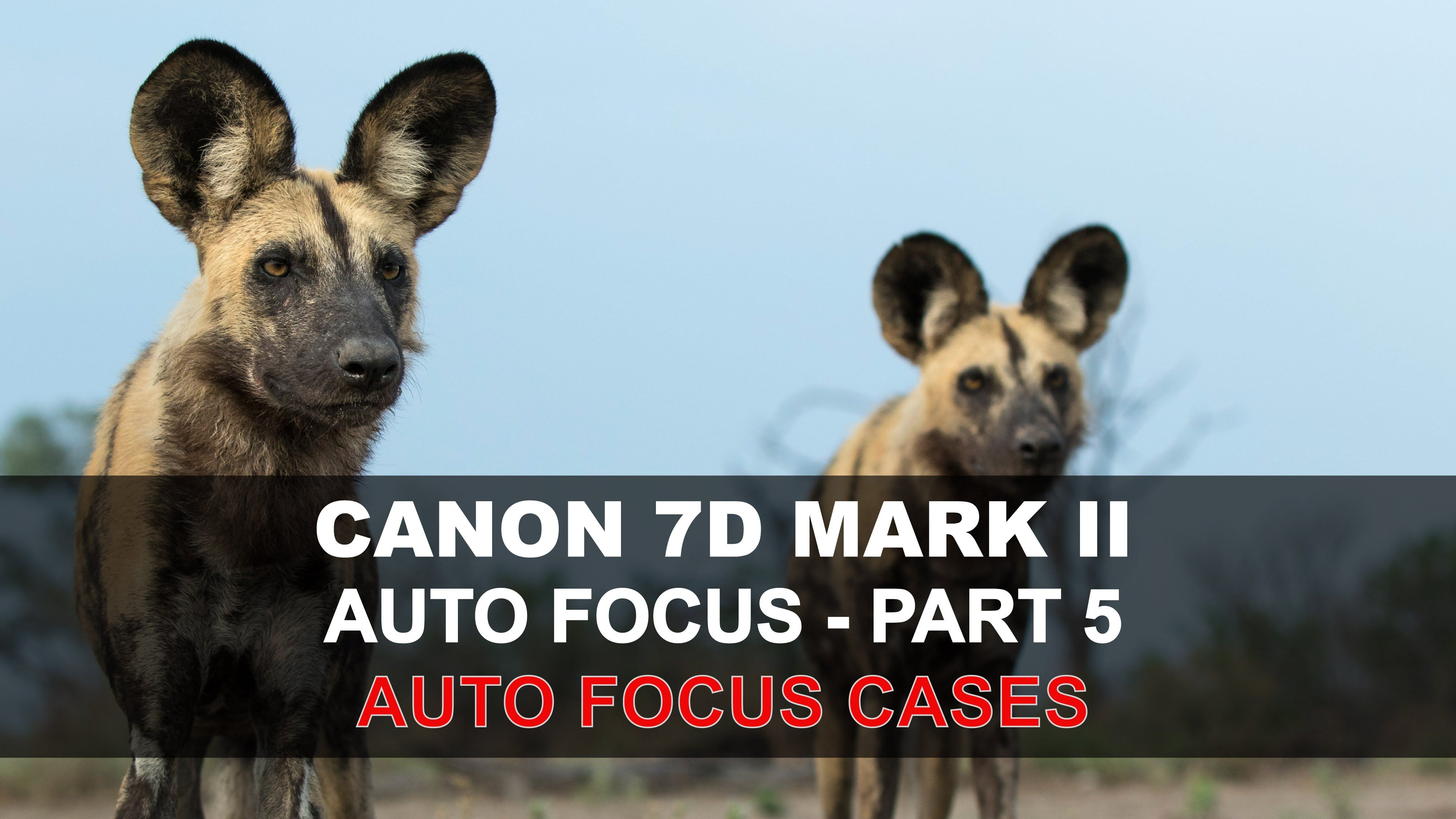 Canon's 7D Mark 2 has a powerful and effective autofocus system, with a comprehensive set of controls and adjustments for setting it up. It shares quite simi...