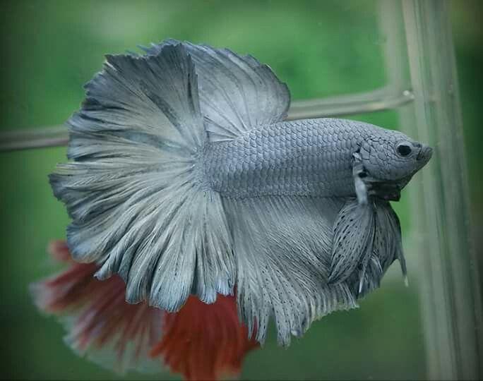 Common betta fish diseases betta betta fish and fish for Black betta fish for sale