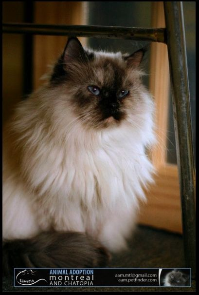 Himalayan Himalayan Cat Pet Adoption Animals
