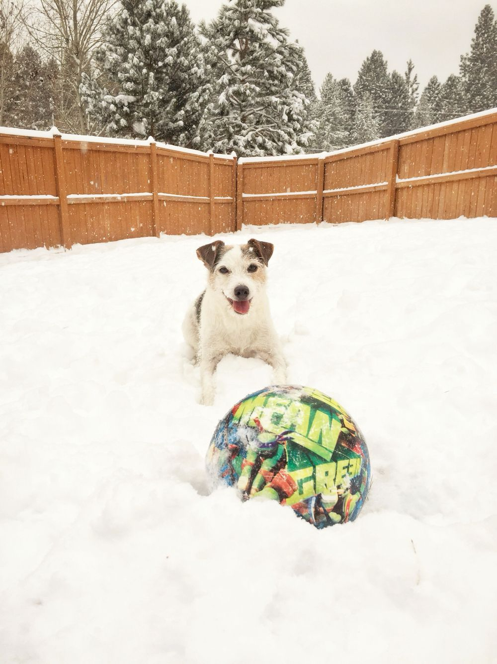 Snow soccer, Jack Russell Terrier
