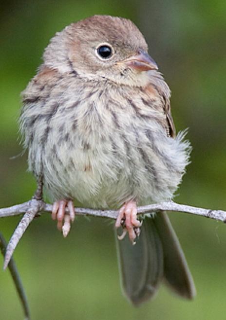 Baby field sparrow