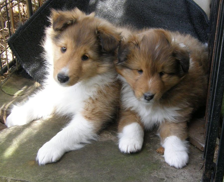 Texas Sheltie Breeders Sheltie Pups Shetland Sheepdog Puppy Lockehill Shelties Puppy Page Sheep Dog Puppy Sheltie Puppy Shetland Sheepdog
