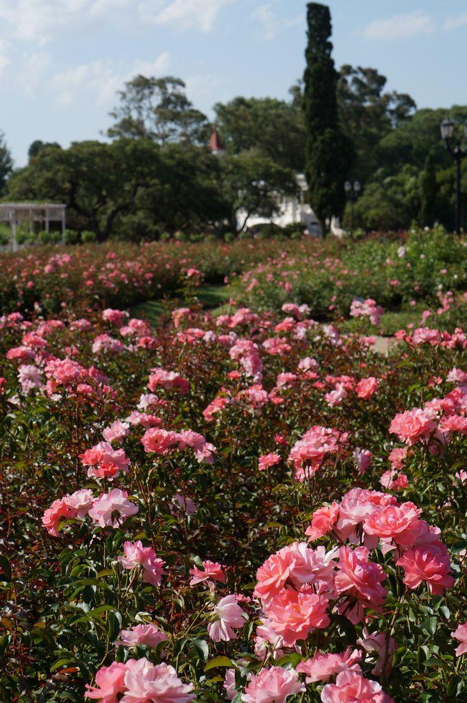 Rosa 'Jardins de France' (3) | El Rosedal