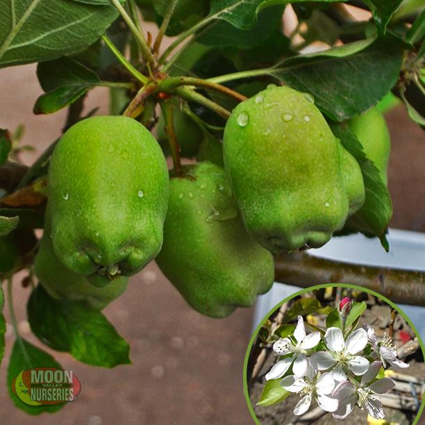 Pin On Fruit & Citrus Trees