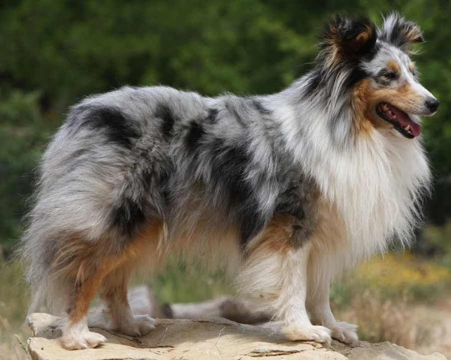 The Shetland Sheepdog Often Known As The Sheltie Is A Breed Of
