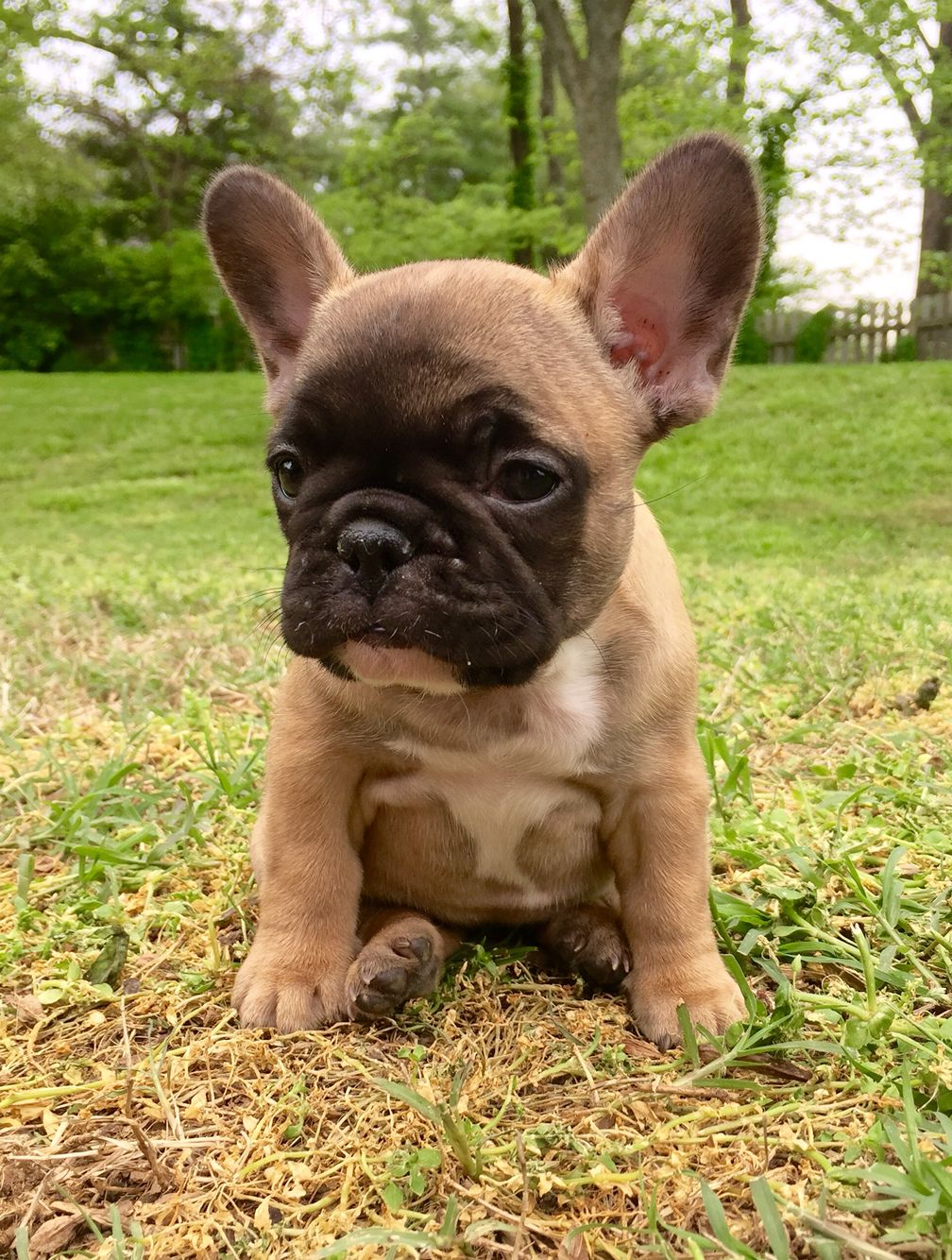 French Bulldog Cute Animals Bulldog Puppies Cute Dogs