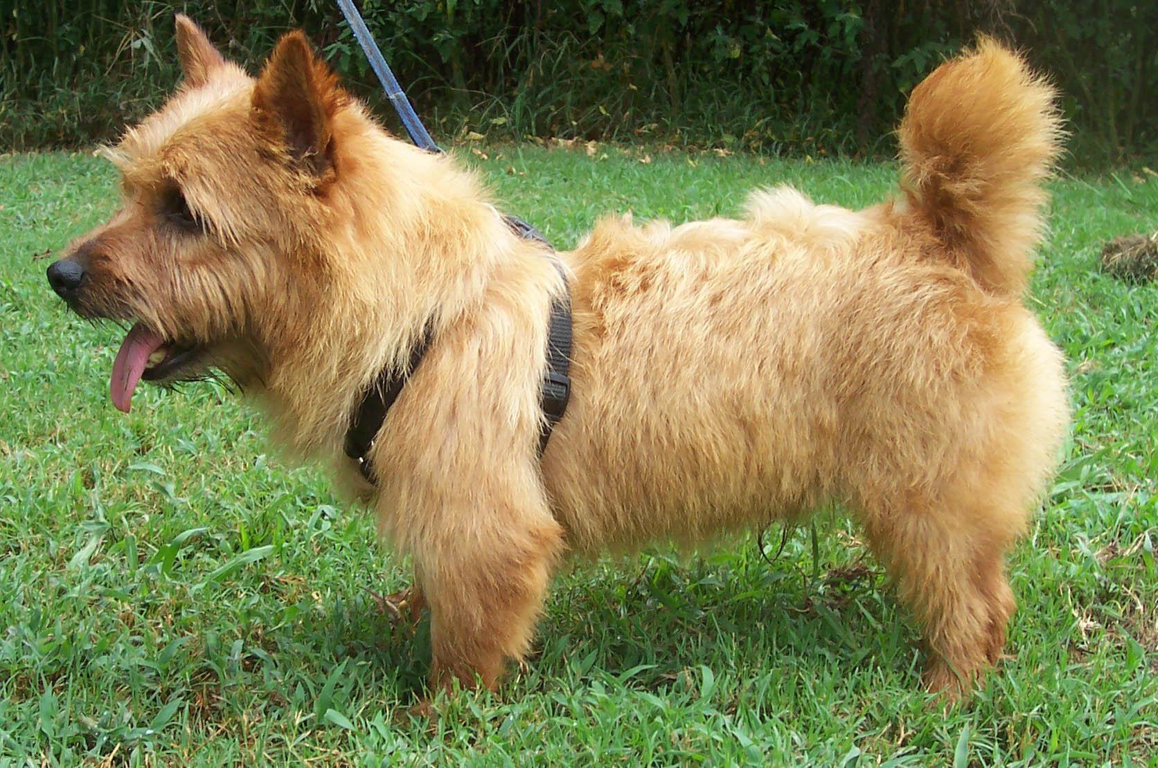 Norwich Terrier Norwich Terrier Terrier Norwich
