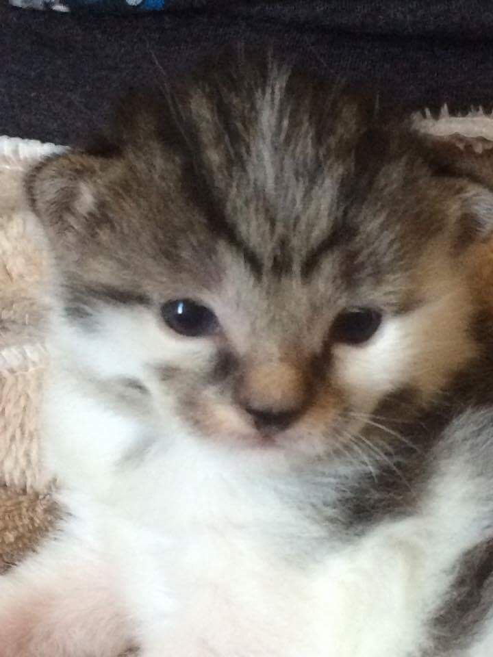 2 1 2 Week Old Male Kitten Aka Tayo 3 Kittens Cute Cat Animals