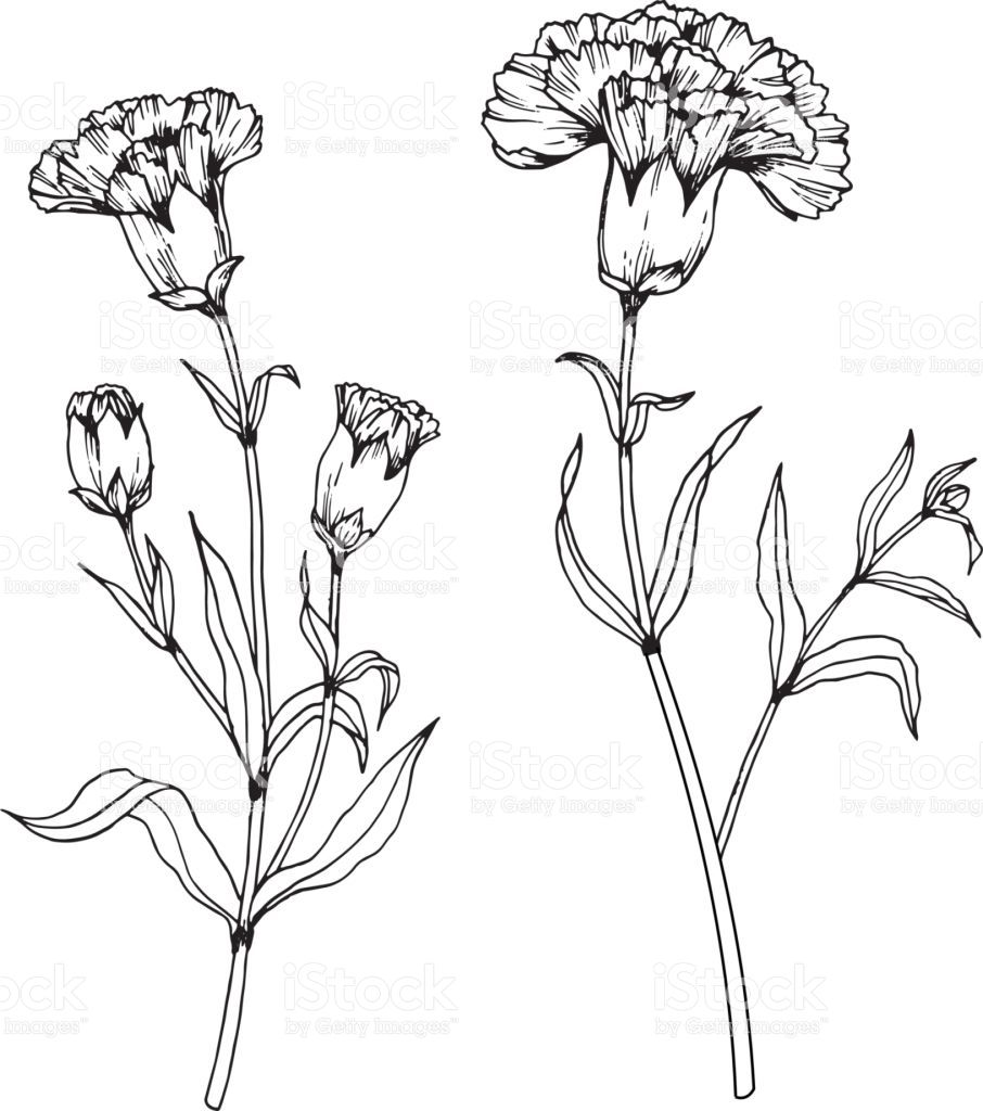 Carnation Flowers Drawing And Sketch With Line Art On White Backgrounds Royalty Free Carnation Flowers D Carnation Drawing Flower Drawing Flower Line Drawings