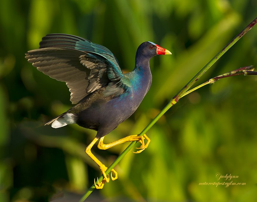 """These beautiful birds,"""" the purple gallinule"""" eat the tiny flowers at the top of the fire flag plant . It is always amazing to me how very agile they are and how light they are that they can actually get to the top before the plant starts to bend"""