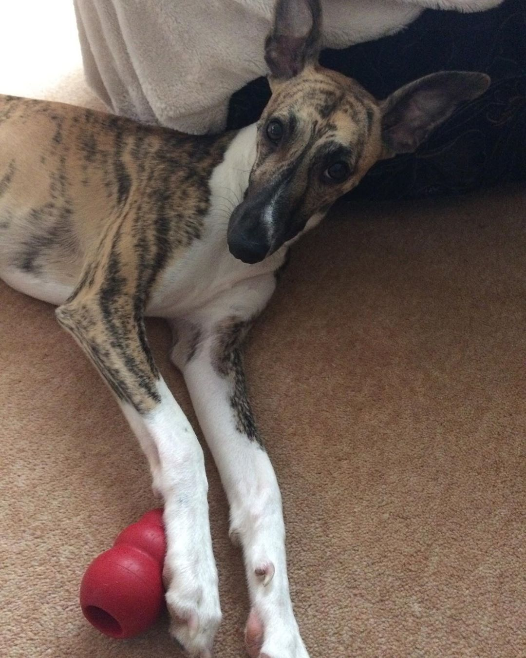 Buy Whippet Puppies For Sale Near Me In North Dakota USA