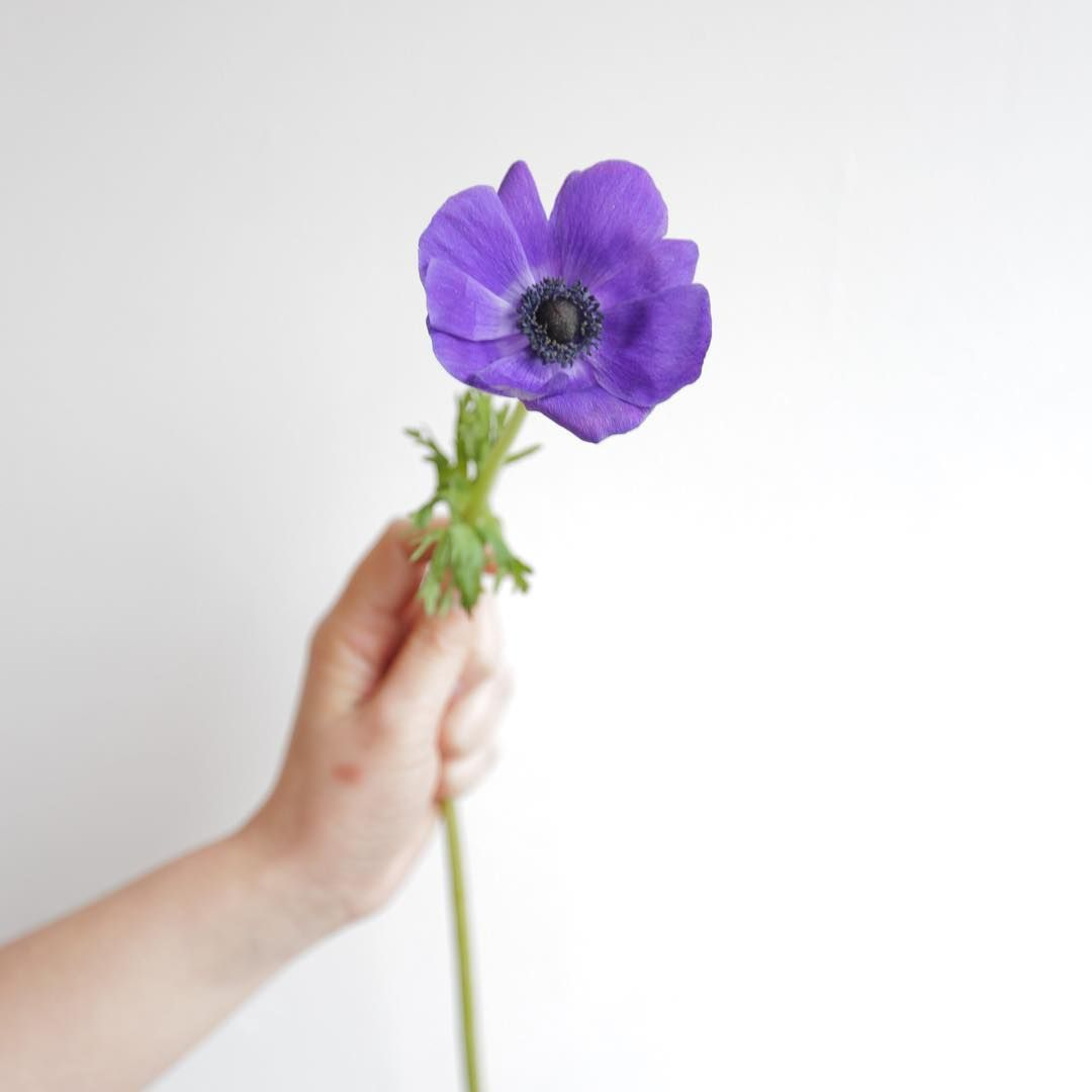 In Greek Mythology Some Believe That The Anemone Grew From Aphrodite S Tears Others Day They Flowers Appeared From Adoni Anemone Coffee Flower Spring Flowers