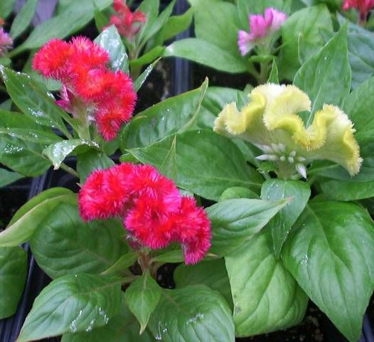 Celosia Kuruma Corona Butterflies And Hummingbirds Like Too Long Lasting Flower Bedding Plants Dried Flowers