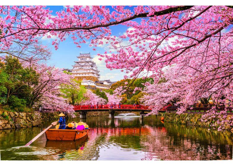 A Curious Cherry Blossom Fact While Japan S National Flower Is The Chrysanthemum Many People Outside In 2020 Cherry Blossom Japan Cherry Blossom Season Himeji Castle