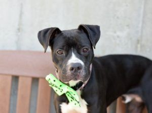 Huck Aka Bruce A1080261 Animal Shelter Animals
