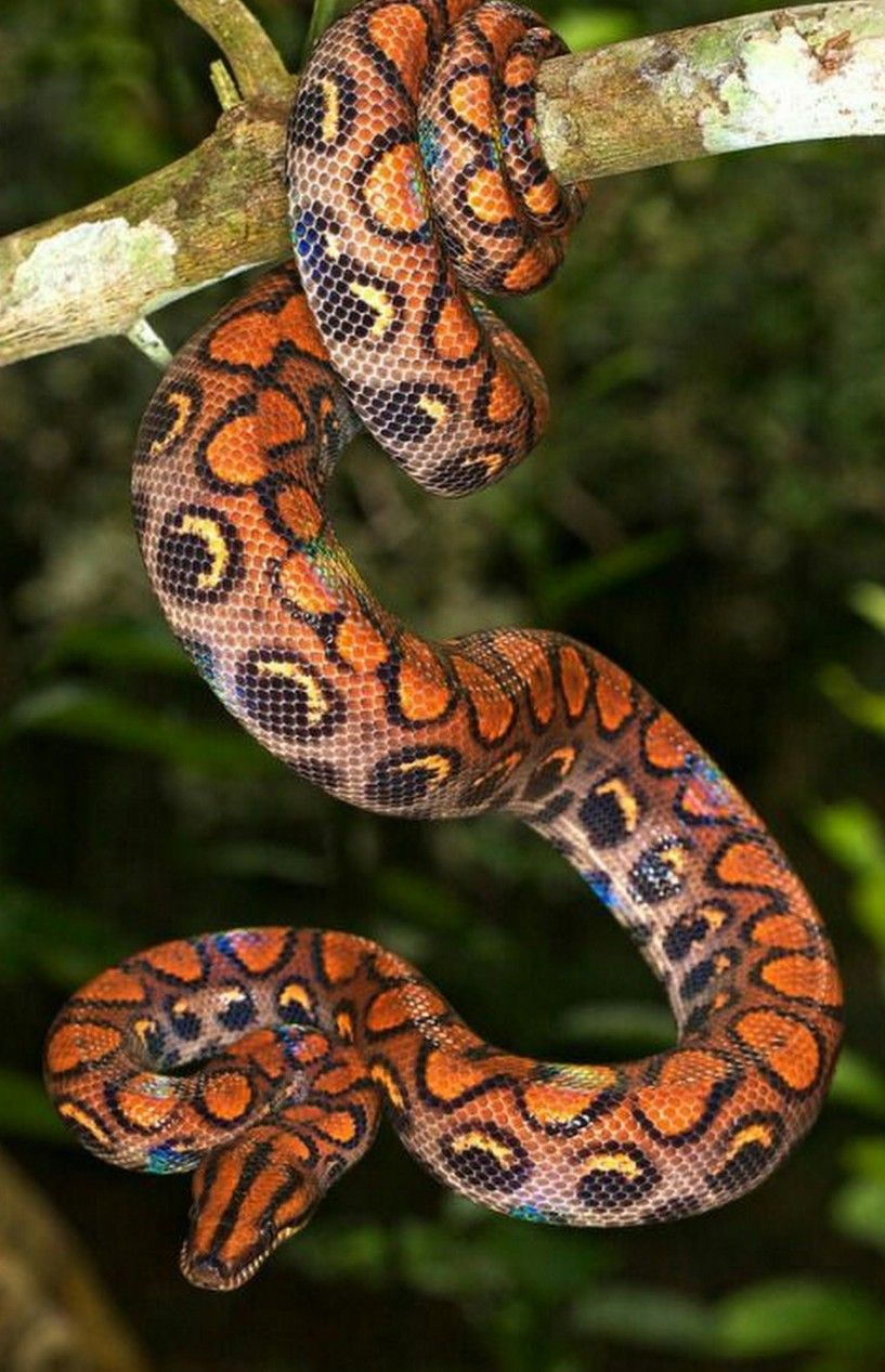 Brazilian Rainbow Boa With Images Snake Pretty Snakes