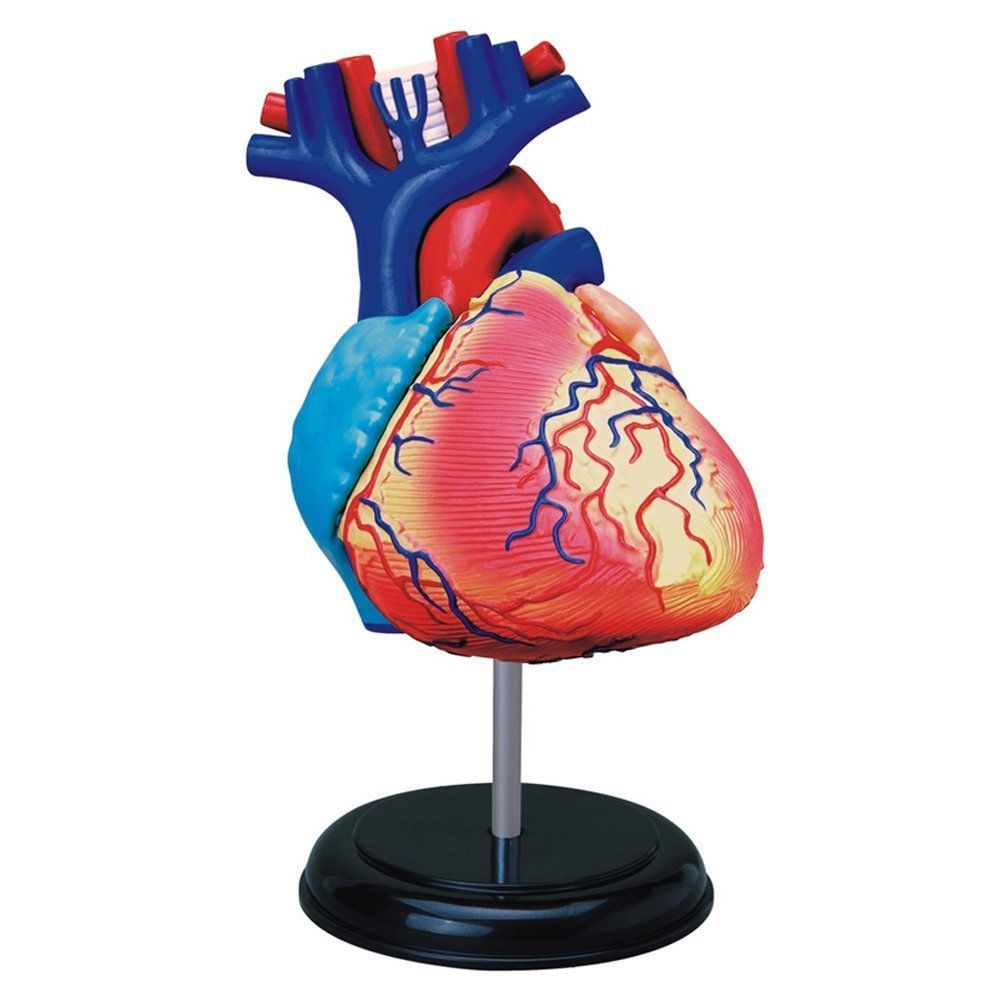 Human Anatomy Model Kids Learning Models Nursing Medical Science ...