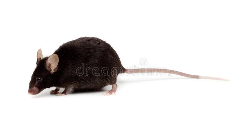 Fancy Mouse Mus Musculus Domesticus Fancy Black Mouse In Studio Against A Whit Sponsored Affiliate Ad Mouse Mus Fancy Mouse Stock Images Free Fancy