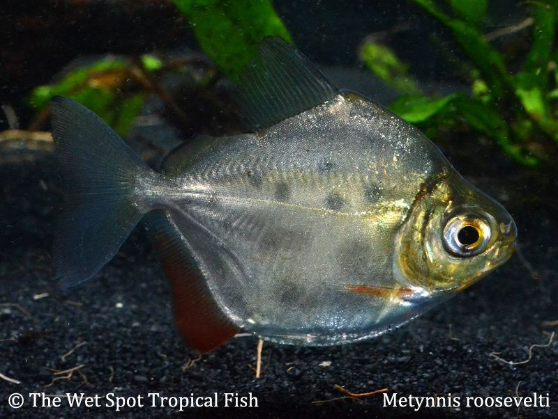 Other Spotted Silver Dollar Metynnis Roosevelti Freshwater Aquarium Fish Aquarium Fish Aquarium Maintenance