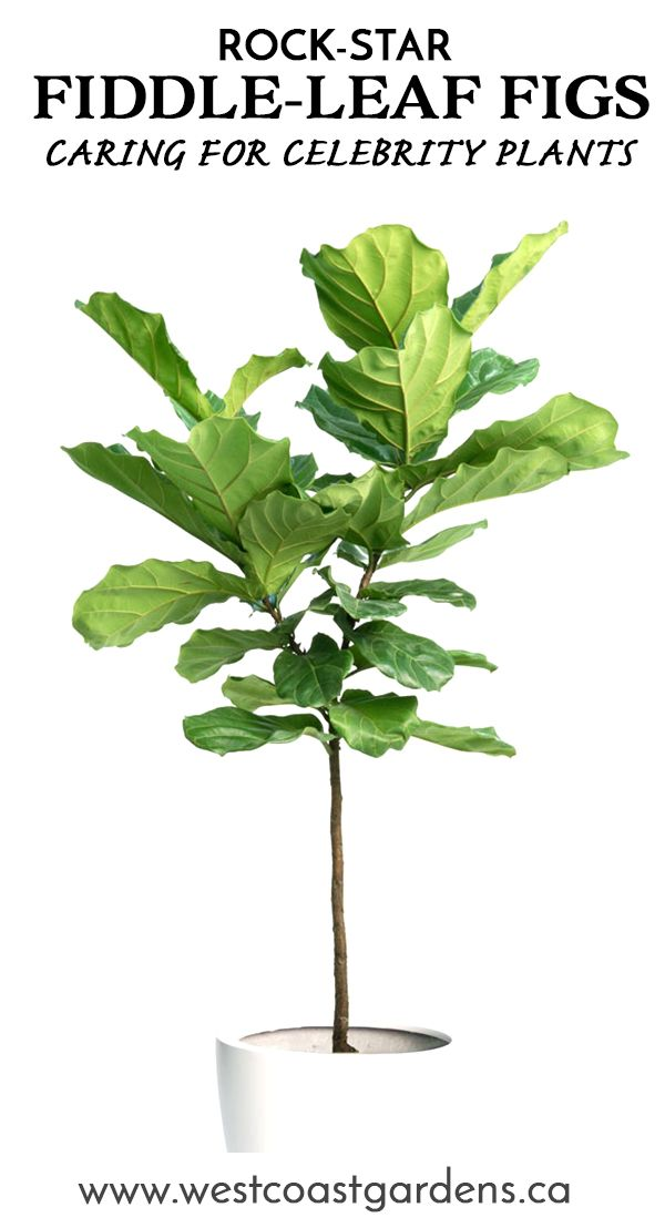 The Fiddle-Leaf Fig Tree - Bringing Home a Rock-Star in 2018