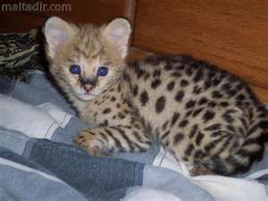 Savannah Bengal And Ocelot Kittens For Sale Cats Malta