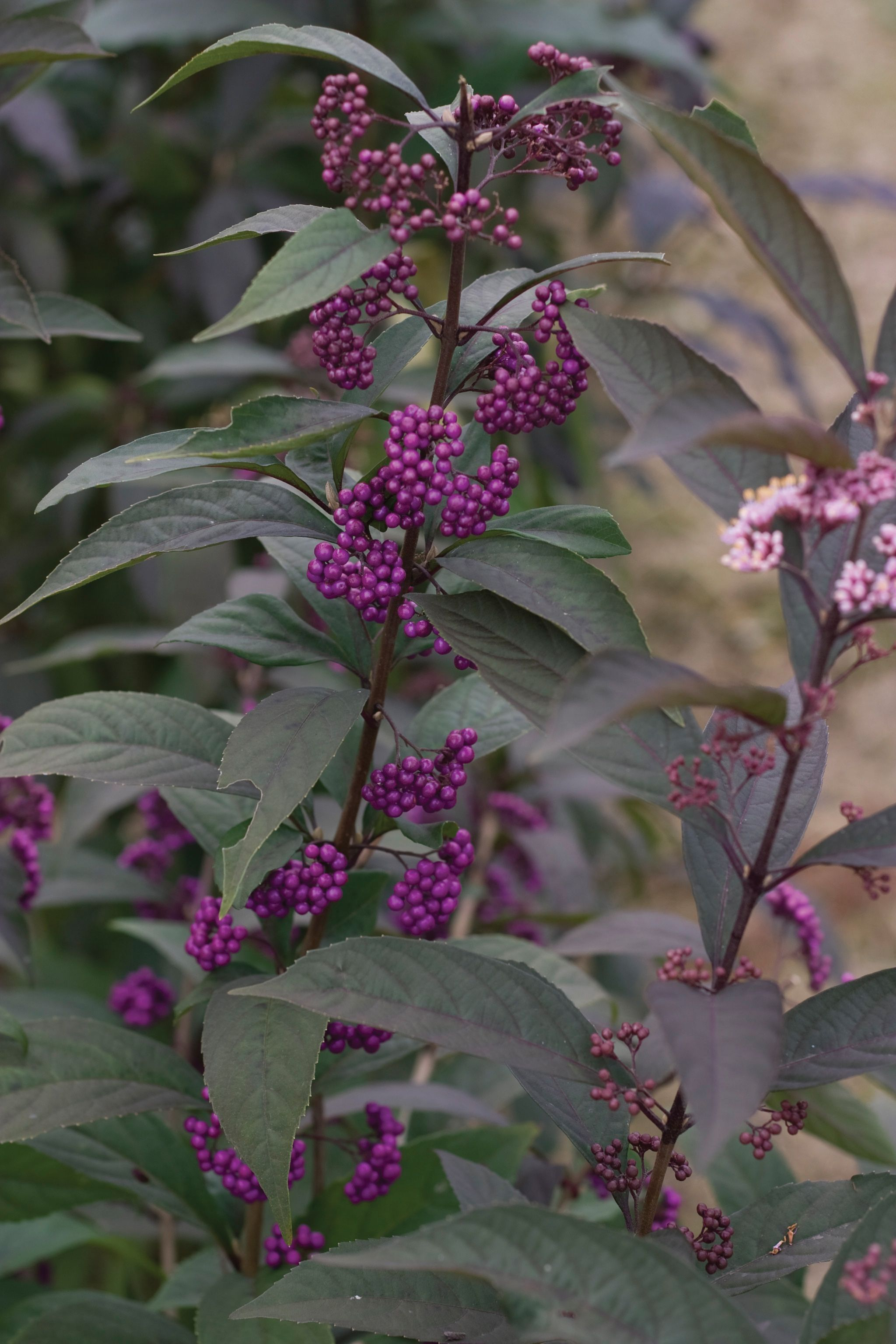 Purple pearls beautyberry callicarpa x late summer and pearls