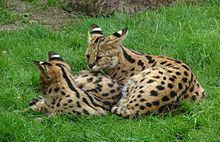 Serval - Wikipedia