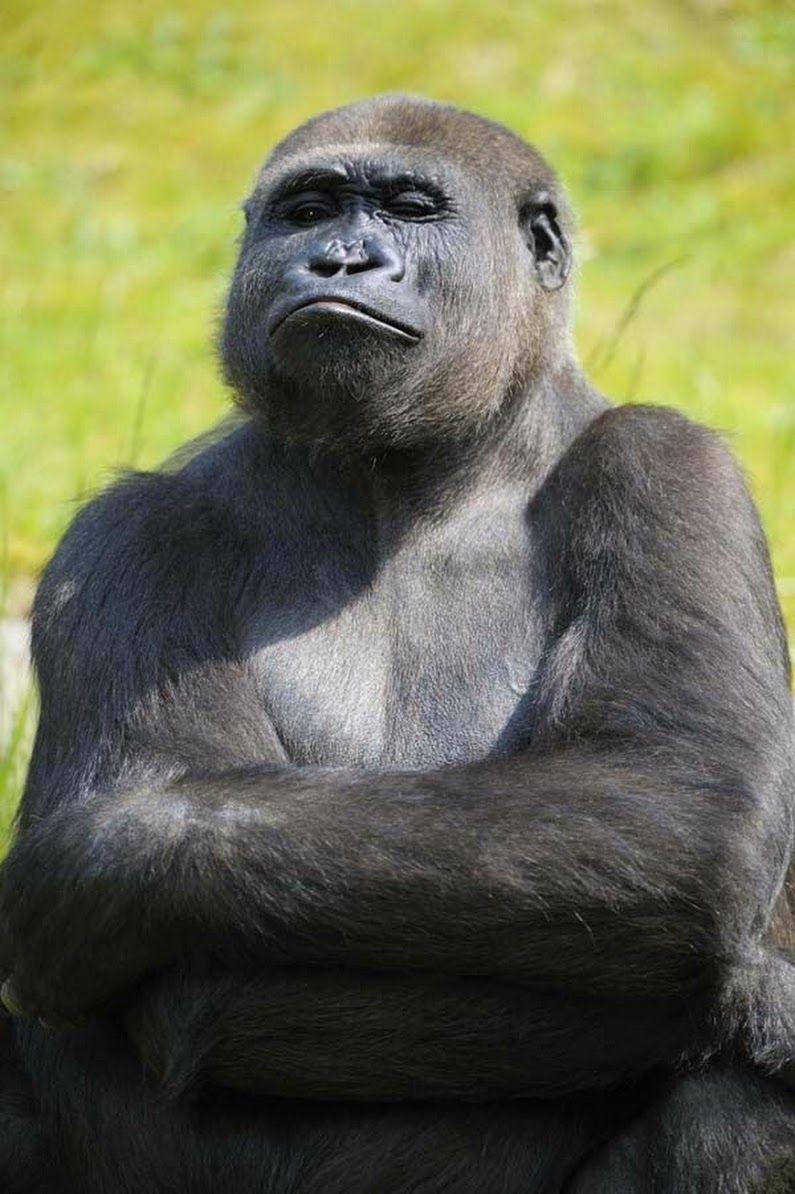 при картинки гориллы приколы уже успела
