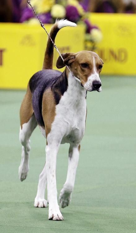 American Foxhound Origin United States Kc Hound Akc Hound The