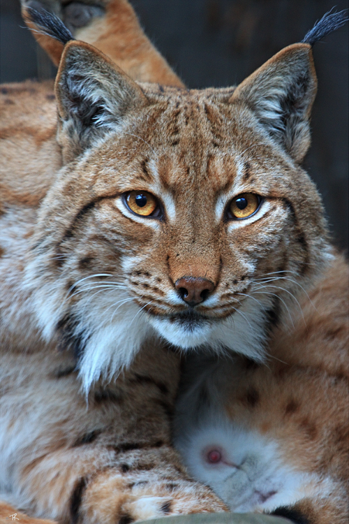 Canadian Lynx (Lynx canadensis) is a North American Lynx and its range is across Canada, Alaska ...