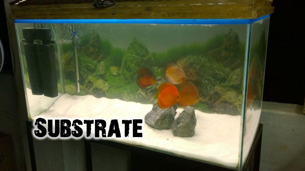 Got Golden Algae Eater And Added Sand To My Discus Aquarium Substrate Aquarium Discusfish Aquarium Discus Fish Discus Aquarium