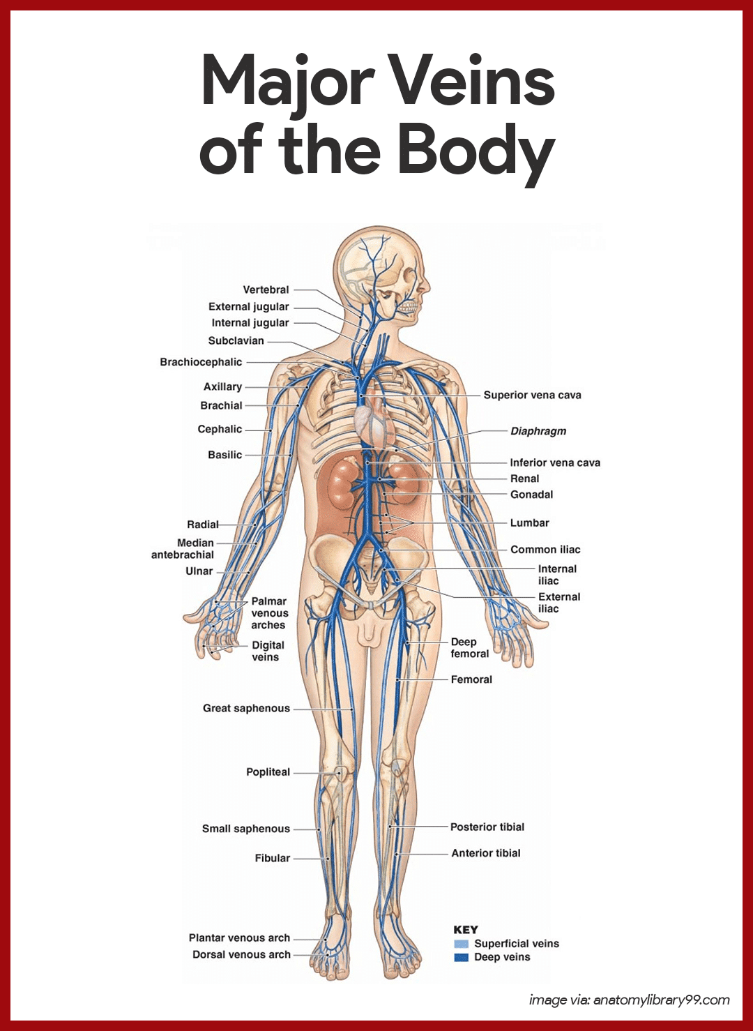 Cardiovascular System Anatomy and Physiology | Pinterest | Blood ...