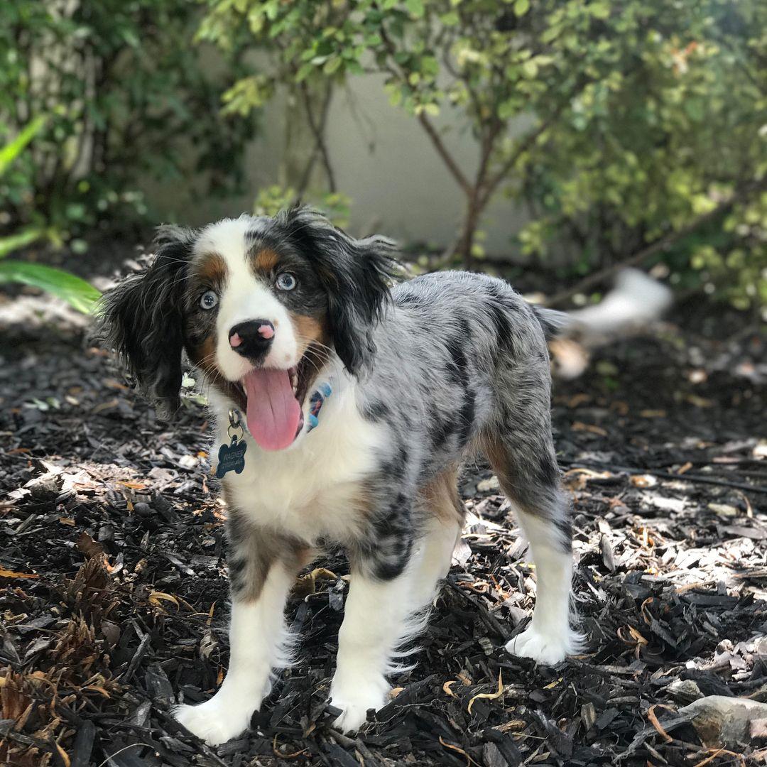 Cotralian Named Owen Hybrid Dogs Australian Shepherd Mix