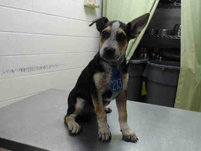 09 07 15 Houston This Dog Id A442230 I Am A Female Black And Tan Australian Cattle Dog Mix The Shelter Staff Think Australian Cattle Dog Mix Animals Pets