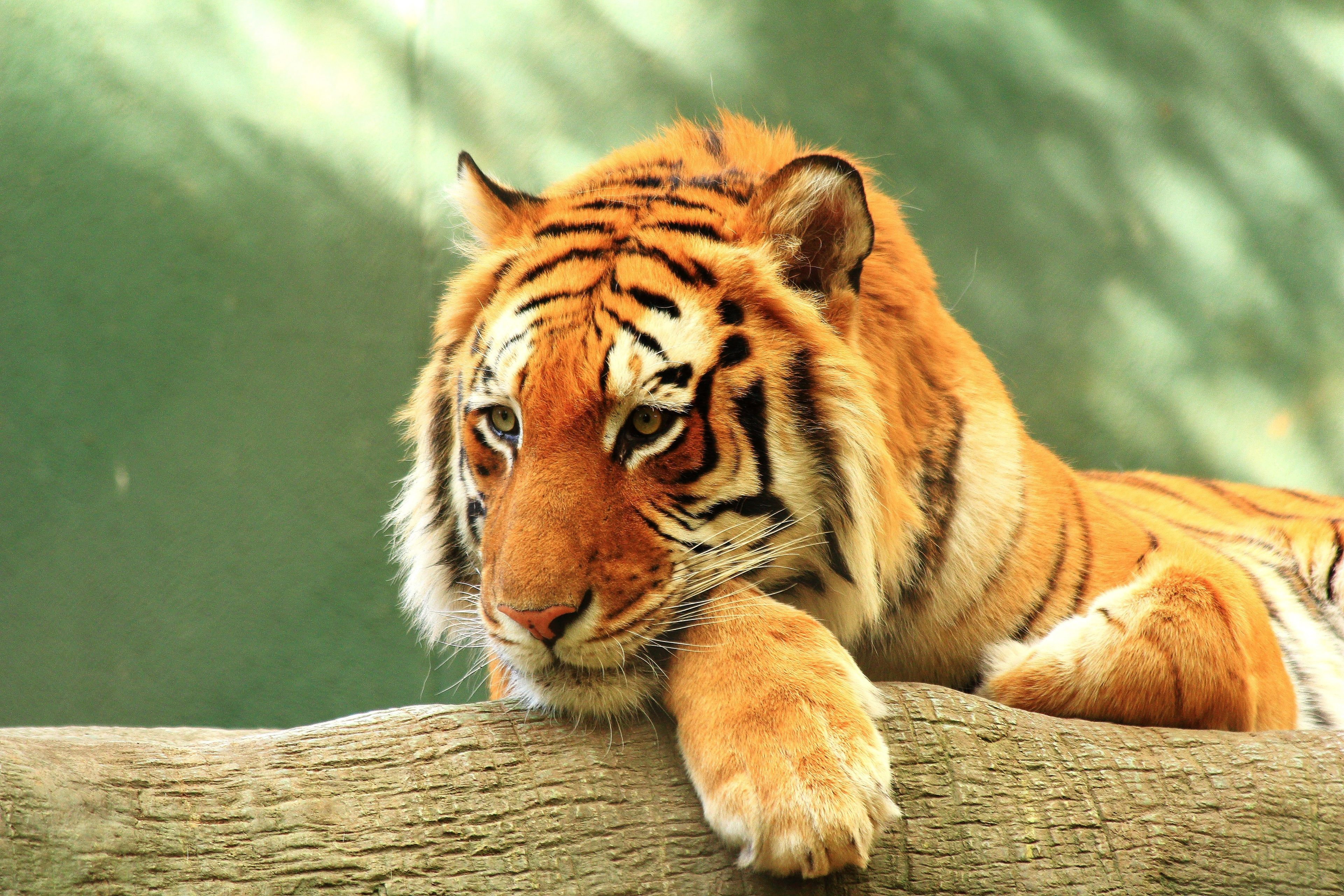 3840x2560 Tiger 4k Free Download Hd Wallpaper For Desktop Tiger Pictures Tiger Wallpaper Tiger