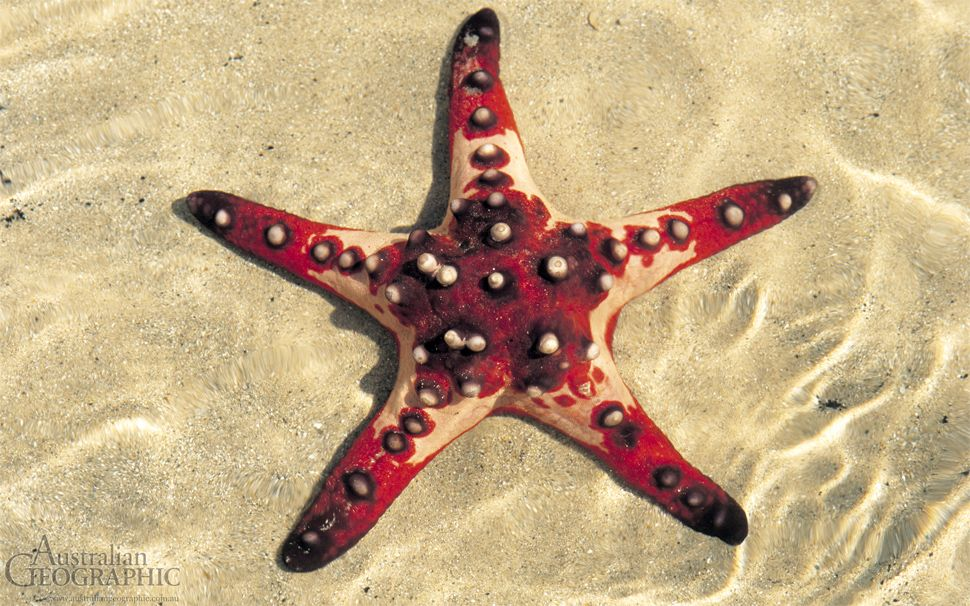 Chocolate Chip Starfish Beautiful Sea Creatures Chocolate Chip Starfish Starfish