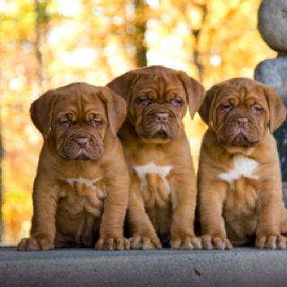 Cutest Dogue De Bordeaux Bordeaux Dog Cute Puppies Puppies
