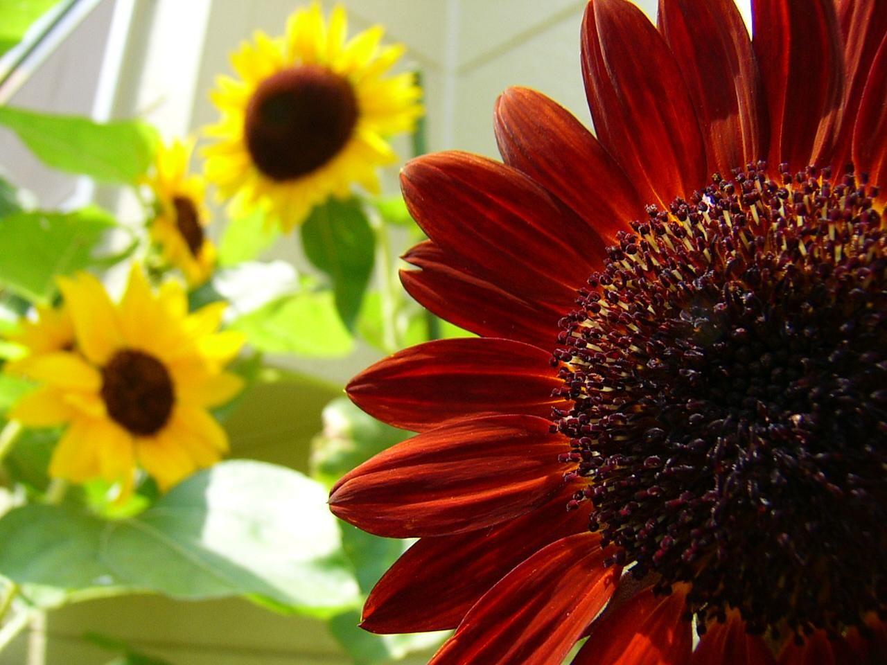 Red Sunflower Wallpaper Red Sunflowers Sunflower Wallpaper Flower Wallpaper