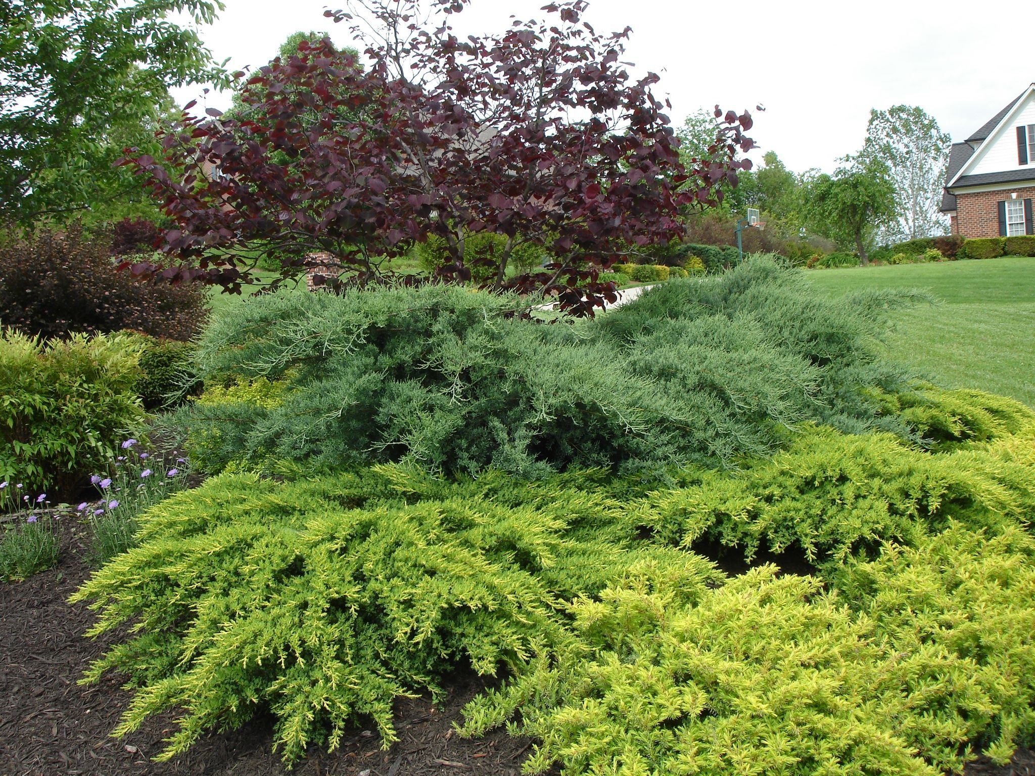 Juniper Daubs Frosted Jumiper Grey Owl Forrest Pansy Red Bud Evergreen Bush Landscaping Retaining Walls Plants