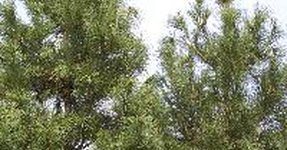 Rboles de pino y cedro de crecimiento r pido tips for Arboles de hoja perenne que crece rapido