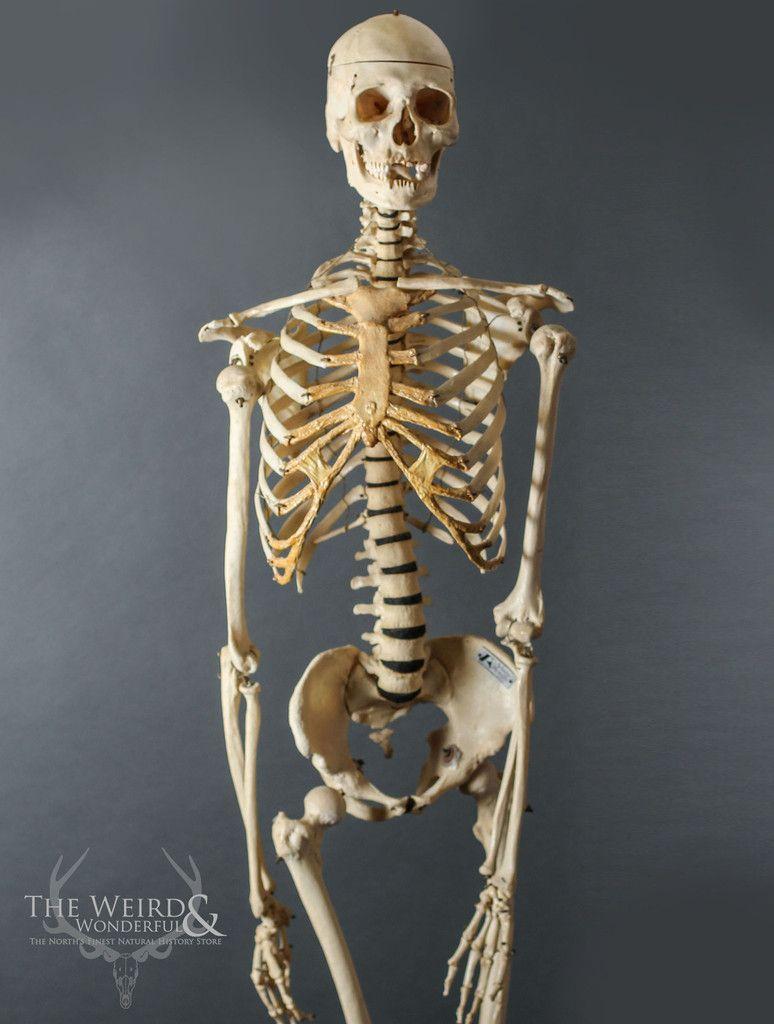 Adam Rouilly 1950s Human Teaching Skeleton - The Weird & Wonderful ...