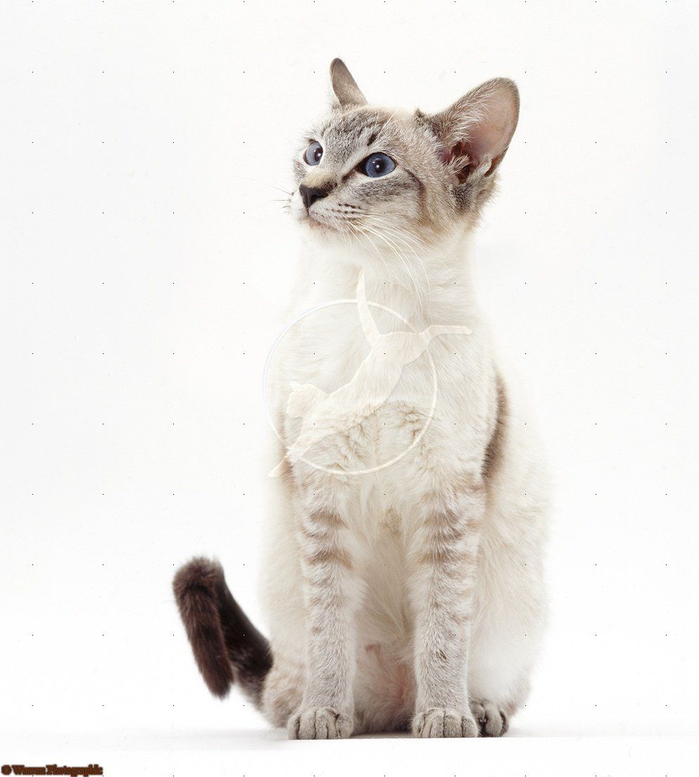 Lilac Point Siamese Cat Sitting Siamese Cats Facts Pretty Cats Cat Sitting