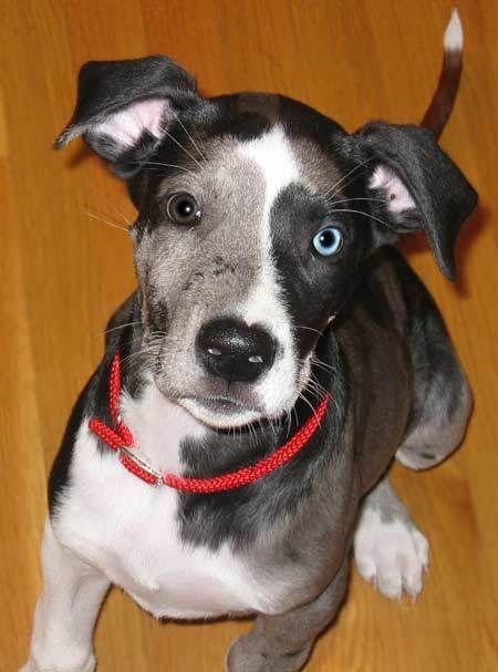 gorgeous great dane pup dogs pinterest