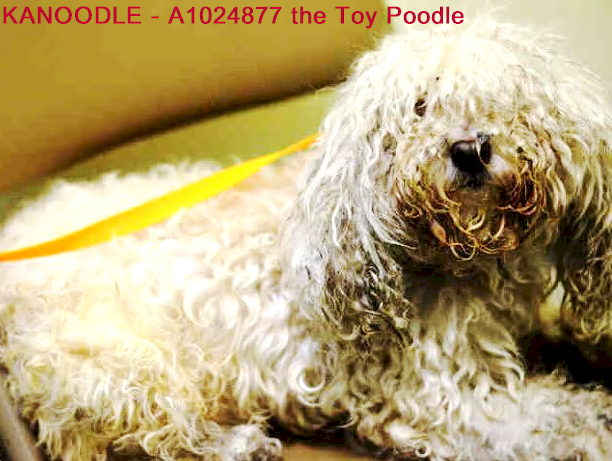 Optionssharesendlike Critical Small Dogs At Nyc Acc Shelters 9 Of 21 Must Love Dogs Safe With Me January 7 Kanoodle A10 Toy Poodle Poodle Mix Poodle