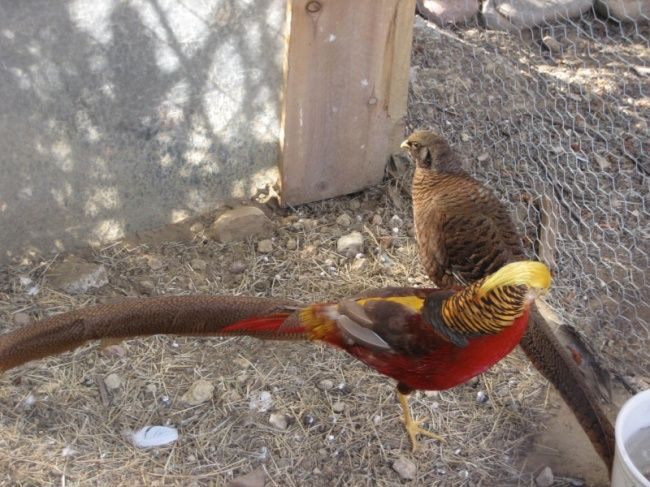 We have Red Golden Pheasant Hatching Eggs for sale at www