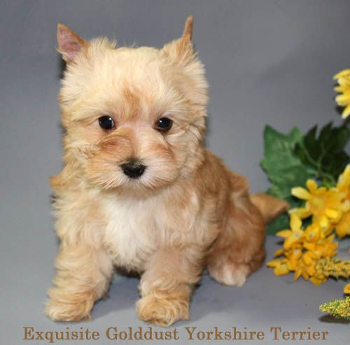 Yorkshire Terrier Golddust Puppy Www Golddustyorkshireterriers Com