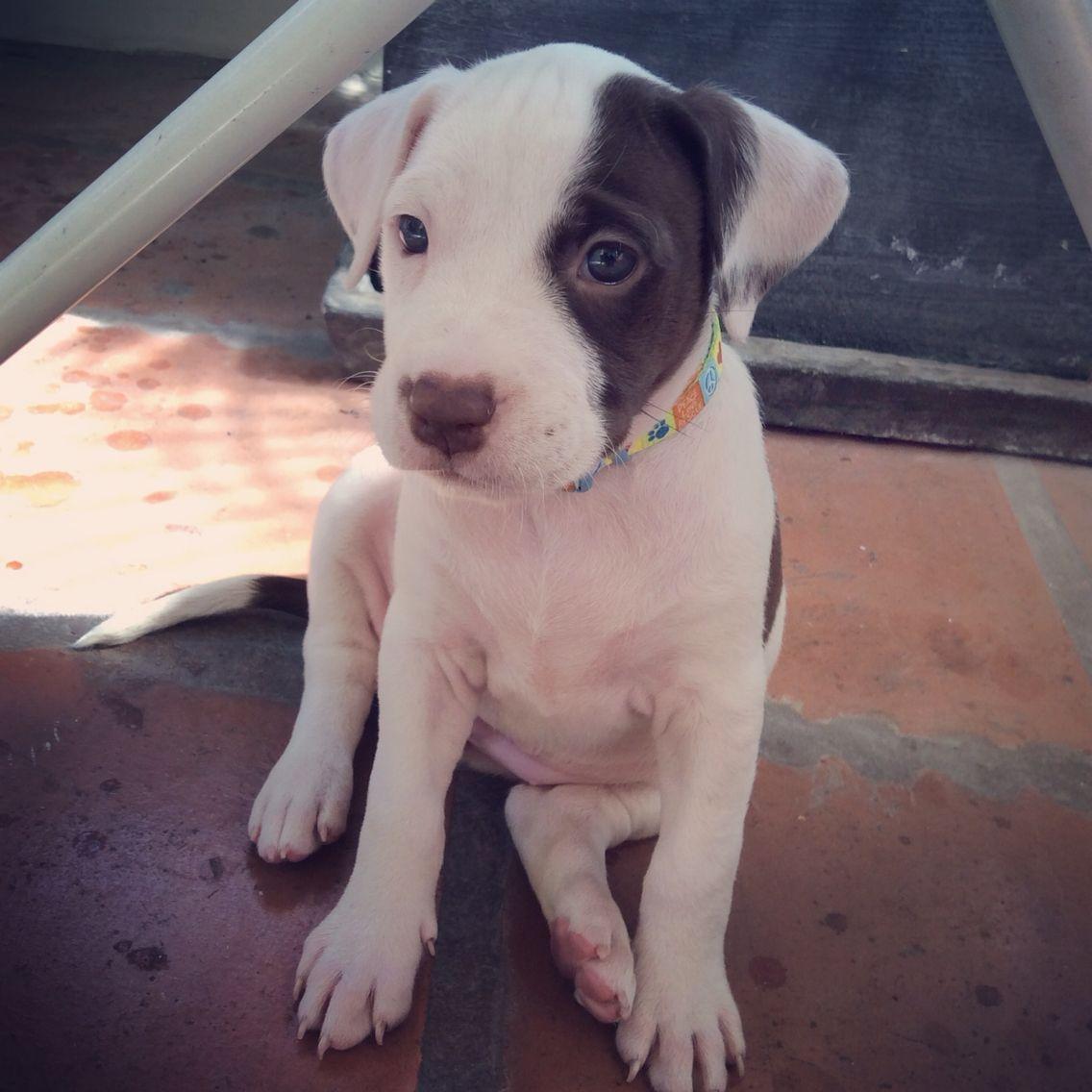 Amstaff puppy ❤️