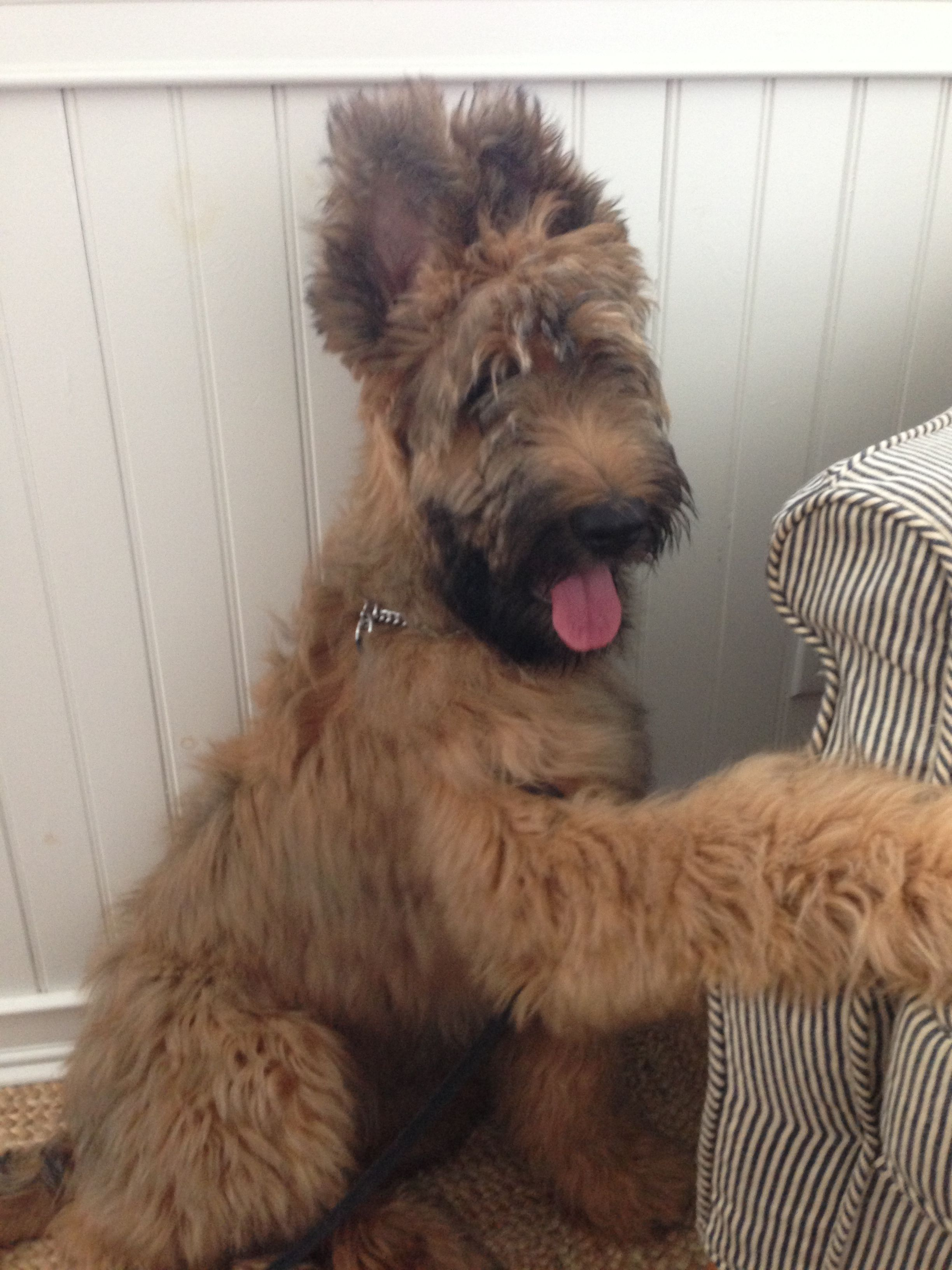 Pin By Laura Renteria On Angie Jessee Max And Other Briards Briard Dog Briard Beautiful Dog Breeds